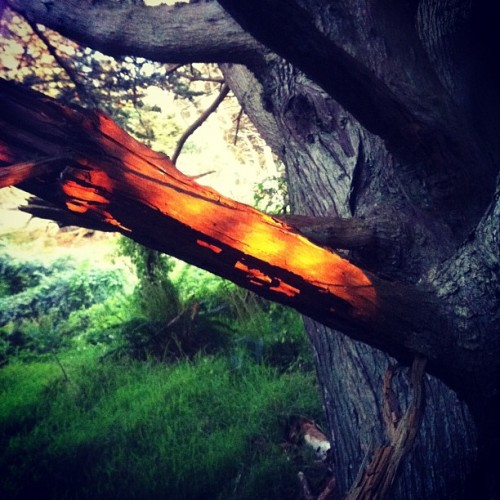 Sunlight through the cypress. (Taken with Instagram at Coastal Trail)