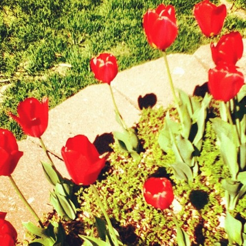 Spring is here, summers on the way:) #tulips #sunshine (Taken with instagram)