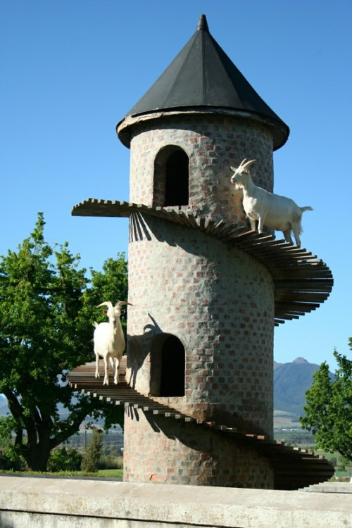 Fairview Vineyards, Paarl South Africa ~ Goats Do Roam