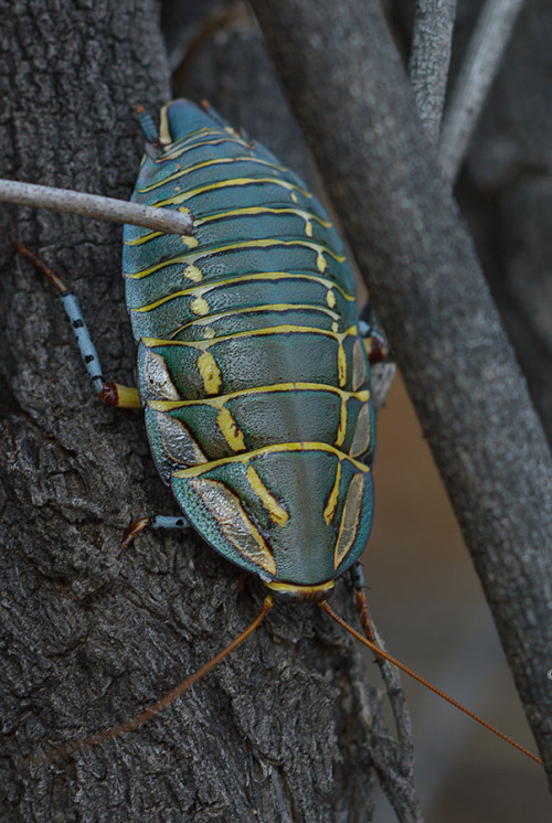 A Painted Trilobite Cockroach, taken in Australia by Andrei Nikulinsky, who runs the excellent Clusterpod tumblr. Mitchell's Diurnal, or Painted Trilobite Cockroach, (em>Polyzosteria mitchelli)  Thanks Animalworld for the ID! Hospital Rocks, Western Australia. One of the more colorful roach species! I've seen photos of green ones like this, and some that are red/maroon. Not sure if the two are actually different species, or just different color morphs they come in. I'd love to see these available someday, but I highly doubt anyone in the US is keeping them. Many of these Australian species will never be available due to the strict wildlife exportation laws they have.