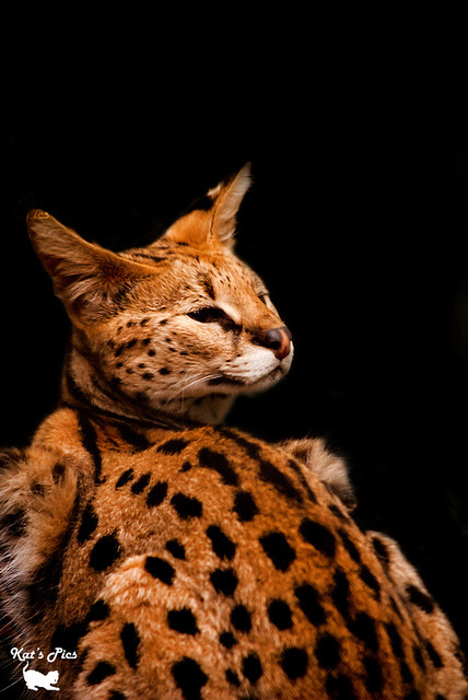 Ocelot on Black on Flickr.