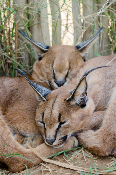 tigersandcompany:  Caracals (by Jenna Woodward)