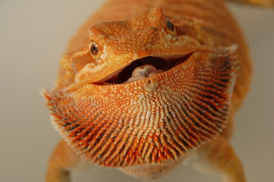 funkysafari:  Red, Orange Italian Leatherback Bearded Dragon by quythanh_sp
