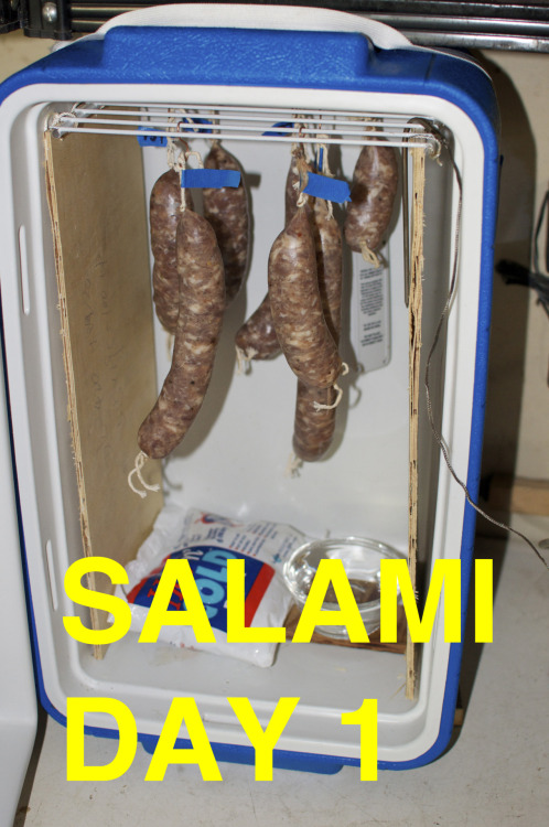 "The Creation (of Saucisson Sec) : Day 1 Here is a photo of my salami hanging in a curing chamber I made out of a cooler. I decided to go with the ""Saucisson Sec"" recipe from Charcuterie this time around because it is the only cured sausage in the book that does not require a starter culture! It is an all pork sausage that is seasoned with garlic and coarsely ground black pepper. I cut the recipe in half and ended up with about 6 decent sized links from the 2.5 lbs of pork. Plus one lil chub you can see on the far right. I am very excited for this. Wish me luck."