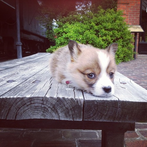corgiaddict:  Ms. Risu, the always sleepeh corgi.