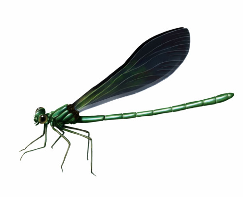 I just can't wait for the summer to come!  A Calopteryx Virgo. Known in spanish as devil's little horse and about twenty diferent names in galician.