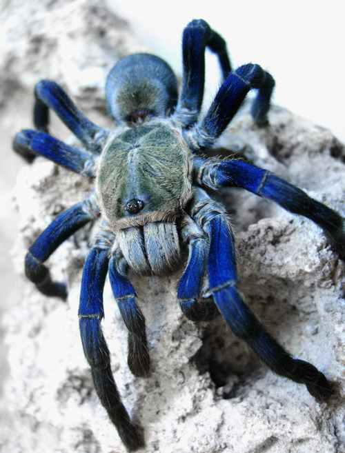 flutterlobo:  lupreme:  i usually find spider pictures scary as fuck but this is my first exception  my favorite spider. BBY GET OVER HERE SO I CAN PUT YOU IN ADORABLE CLOTHES  Oooh, I love the 8lue! That's a 8rilliant hue.