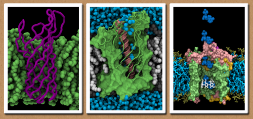 bacterial outer membrane proteins. Snapshots from molecular dynamics simulations rendered using VMD From left to right: OmpA, NalP, OmpG
