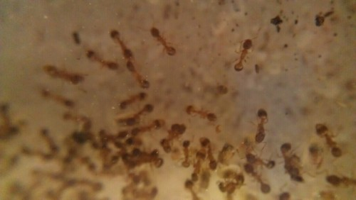 Temnothorax colony that Jessie saved from the freezer. They have no queen, and so they're now our new pets until they die. Macro photo taken with Easy-Macro.com lens (i.e., a small macro lens attached to a rubber band).