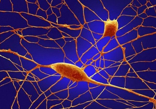 fuckyeahmolecularbiology:  Of the 100 billion neurons in your brain, Purkinje neurons are some of the largest. Among other things, these cells are the masters of motor coordination in the cerebellar cortex. Toxic exposure such as alcohol and lithium, autoimmune diseases, genetic mutations including autism and neurodegenerative diseases can negatively affect human Purkinje cells. Image Source: The Wellcome Trust.