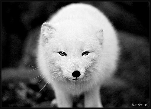 funkysafari:  An arctic fox in it's winter costume. by hauxon