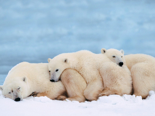 worldlyanimals:  Polar Bears Sleeping