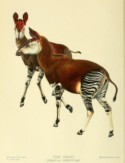 Okapia johnstoni - The Okapi Though it has the same general body shape of the giraffe, okapis have much shorter necks, and their type body evolved long before the giraffes. However, their significantly striped necks and legs did not evolve to what we know today until the species split off into forest-dwelling and grassland types. Like the giraffe, the okapi has a very long, blue, muscular tongue. It uses this part of its body to groom itself more thoroughly than would otherwise be possible, and to strip the leaves off of bush branches. It also has the cloven hooves and digestive tract of the giraffidae family. Proceedings of the Zoological Society of London. 1902.