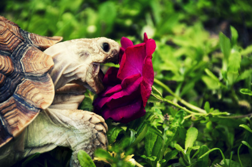 turtlefeed:  othernathan:  Another of Chomper, eating some rose petals. I try to introduce a little bit of variance in texture, color and consistency to make sure he is versatile if I ever needed to introduce antibiotics or meds later on. On the other hand, it's just cool looking. He's family, he's like our dog… except more baller.   This is for Cates.