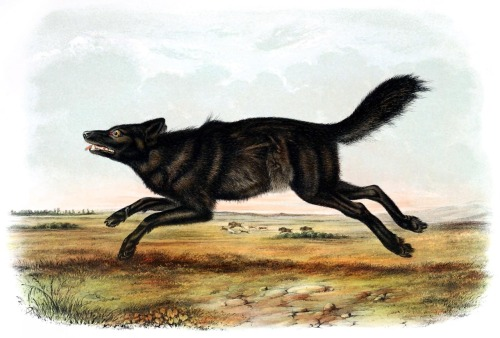 oldbookillustrations:  Black wolf. John Woodhouse Audubon, from The quadrupeds of North America vol. 2, by John James Audubon and John Bachman, New York, 1851. (Source: archive.org)