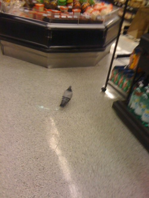 danteogodofsoup:  one time I followed a pigeon through the entire grocery store…………………..