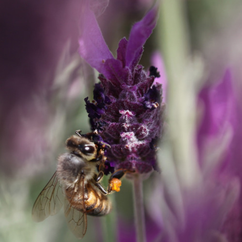 "iheartbees:  Honey Bees Love ♥ LAVENDER Latin Name: LavandulaColor: PurpleHeight: 18""   How to grow: Lavender grows well in mediterranean climates.  Plant it in bright sun, in soil with good drainage. It can also be planted in a small pot, in a mixture of gravel and light soil. The uses: Because of its soothing antiseptic and anti-inflammatory properties, lavender is excellent for the skin. After the flowers wilt, dry sprigs upside down. Once dried, collect just the purple heads and toss a handful into boiling water to use as a face steam bath. It is also edible and can be used as a spice, or added to tea for a calming evening beverage. Photo credit: HoneyLover John Fedorowicz"