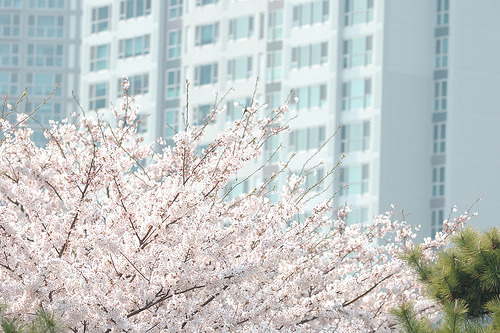 bunnyeatrice:  Blossoms in Haeundae (by beriguu)