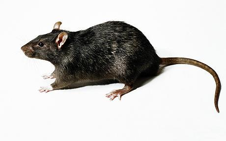 Day 11: A picture of something you hate. Fucking Rats.