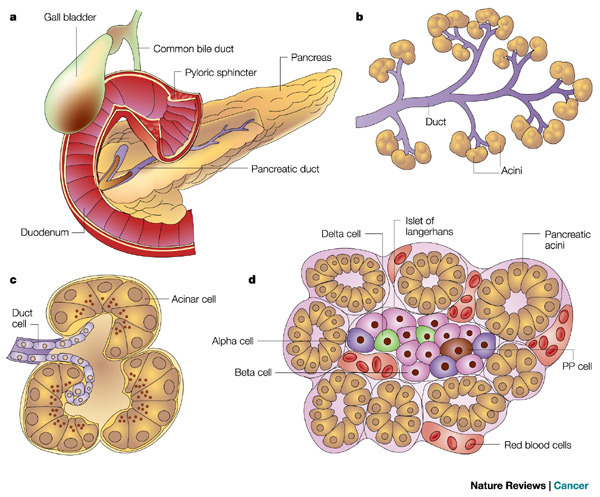 studentosteopathicmedicine:  Anatomy of Pancreas