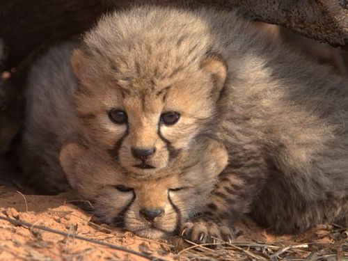 theanimalblog:  Sibling Squash by Gus Mills A three-week-old cub squashes one of its two litter mates during a brief visit by Mills to the den while the mother was out hunting. Mills and his team need to count the cubs and collect DNA from fur samples in order to establish paternity. Such brief interactions do not disturb the cheetahs, and they have never observed any adverse reaction by the mother or cubs.
