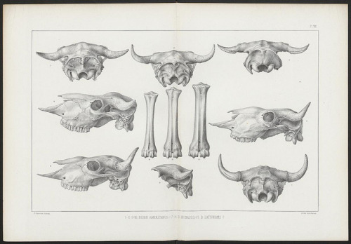 n296_w1150 by BioDivLibrary on Flickr. American bisons, living and extinct.1876.biodiversitylibrary.org/page/12515571