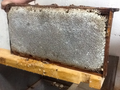 sticky-tires:  Look at this pretty frame of capped honey. The girls did a beautiful job.