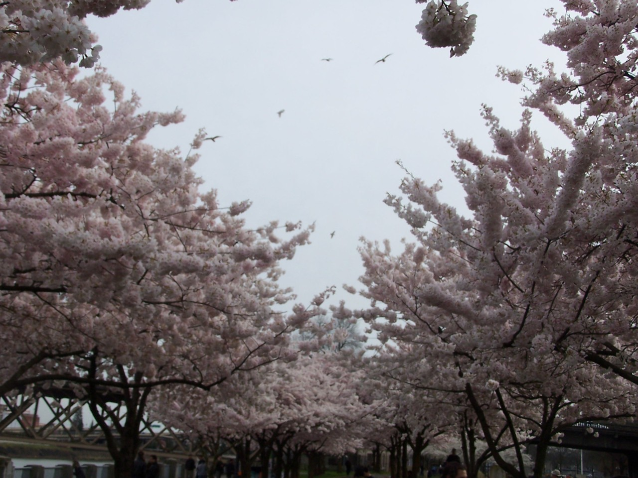 Cherry blossoms and seagulls in North Waterfront Park.