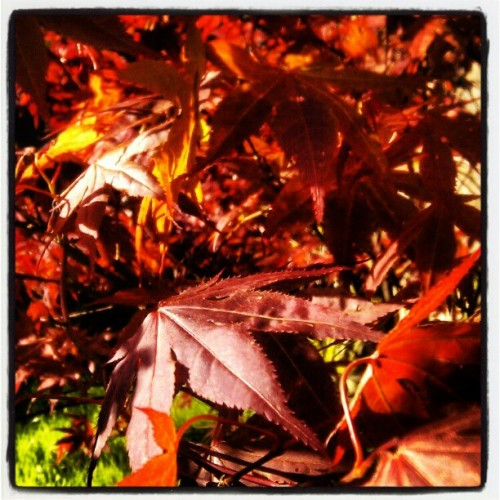 #spring #colour #maple (Taken with instagram)