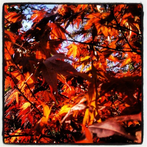 #maple in #spring with blue skies (Taken with instagram)