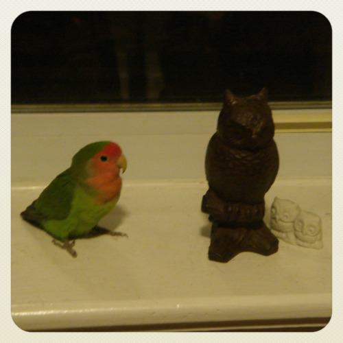 Good news! The little lovebird we found in the park is going to her forever home this week.  Sadly, we were unable to find her original owner after searching the past few weeks, but we found someone who wants to give her a nice home! I was tempted to keep her as a mascot because she's a peach-faced lovebird, but our kitty and zebra finch (and tiny apartment in NY) wouldn't have it.