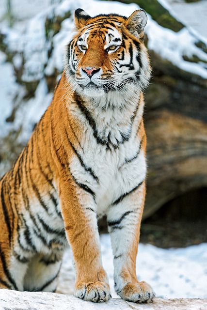 animalgazing:  Elena sitting proudly in the snow by Tambako the Jaguar on Flickr.  Totally obsessed with tigers.