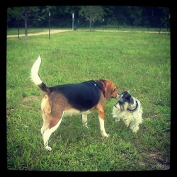 Meeting new friends. #beagle #dog #dogs #pet #pets #park #dogpark #doggie #dogstagram #petstagram #dogsofinstagram #ilovemydog #ilovemybeagle #androidography #android (Taken with Instagram at Baytown Bark Park)