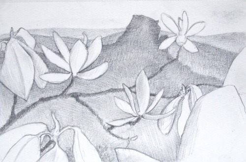 sheamusburns:  Mountain Magnoliaspencil sketch on 5 x 8 bookSheamus Burns 2012