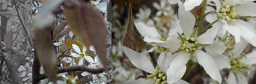 4/12 News from the Bush: white flower-palooza edition (photo credit: J.A. Ginsburg / CC BY-NC-ND / @TrackerNews)