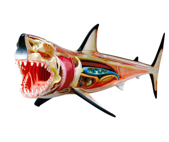 sunfoundation:  4D Vision Great White Shark Anatomy Model