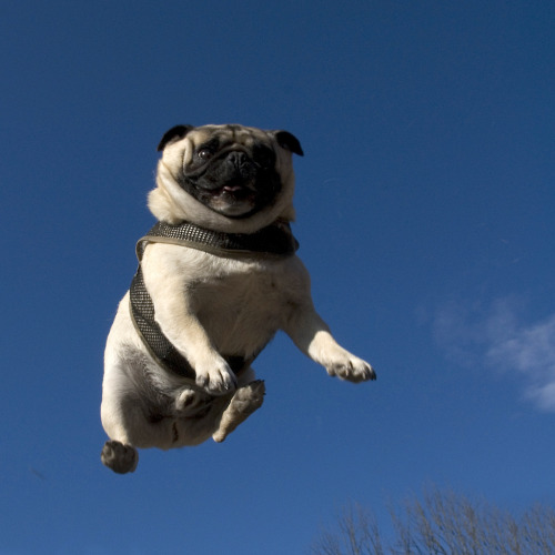 "thefluffingtonpost:  Pug Immediately Regrets Buying Trampoline A Seattle pug named Franklin saw a trampoline at Target and did what any other self-respecting American would in that situation — he slapped down his debit card and rolled that sucker home. After a good hour scouting the perfect location and tending to some basic assembly, he was ready to hop on. ""He's been bouncing for about five hours now,"" says Gerald Robinson, one of about 40 onlookers who have encircled the hopeless pup. ""You can tell he wants out, but he hasn't been able to break the cycle. I sure hope he kept the receipt."" Via Jill Watson, by way of Bunny Food."