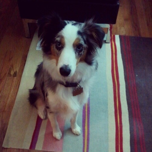 mr cutie patootie #riot #aussie #australian #shepherd #mini #monster #cutie #cute #pup #puppy #jedi #mind #tricks  (Taken with Instagram at The AlyKat)