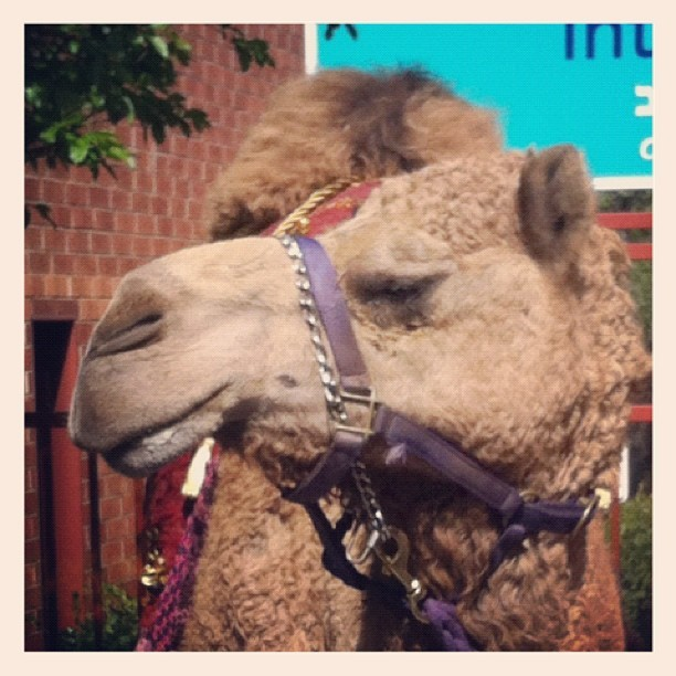Hump-free the camel! (Taken with Instagram at Osher Marin JCC)