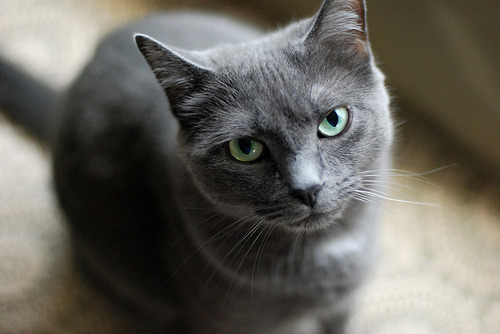 hokiluv:  I will have a Russian Blue.
