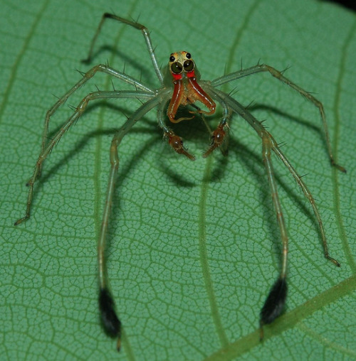 adorablespiders:  Slender male jumping spider cleaning its hind leg  lookit its FACE! Edit: OH GOD IT'S GOT FUZZY LEGWARMERS