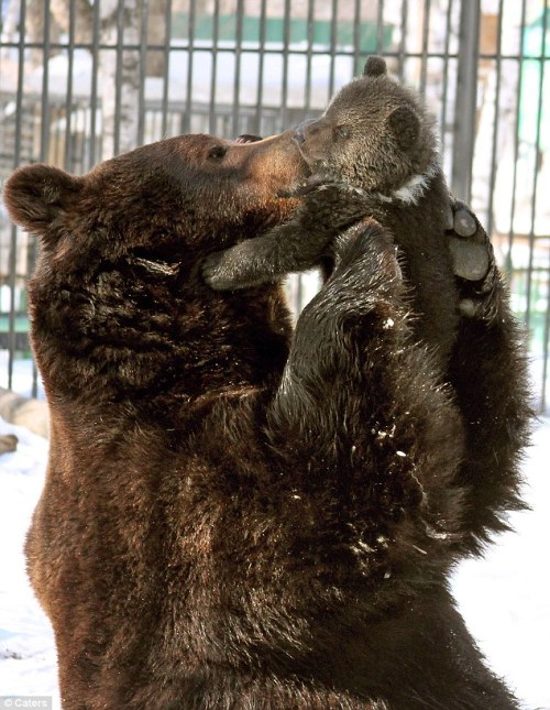 magicalnaturetour:   The doting father bear who can't help cuddling his cub via Mail Online :)