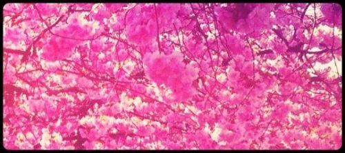 Cherryblossom#photography #iPhoneography #cherryblossom #kungsträdgården #Sweden #spring #pink(from @Annaaslund on Streamzoo)