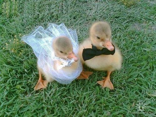 theaprilsmeow:  thefrogman:  Baby ducks are ruining the sanctity of marriage.   God damn motherduckers