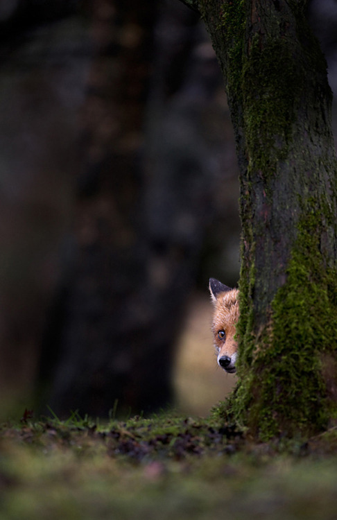 frightened fox