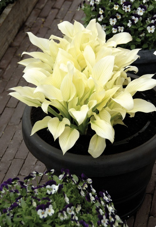 Hosta 'White Feather' for moon garden glow.