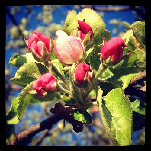 Best buds. #appleblossom #flowers #tree #spring #morning  (Taken with instagram)