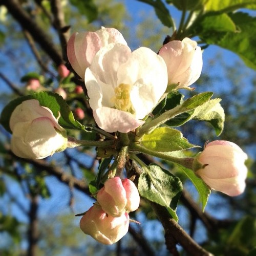 Grand opening coming soon! #morning #spring #tree #flowers #appleblossom  (Taken with instagram)