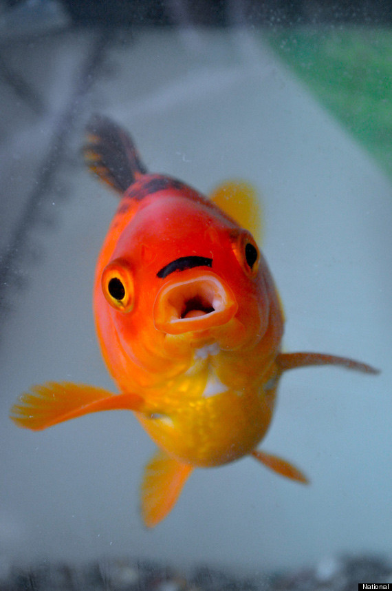 allcreatures:  George, the goldfish that looks like Hitler