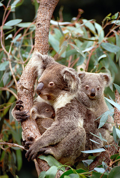 Photograph: Gerry Ellis/Corbis Koalas under threat in Australia - in pictures on our environment news pages